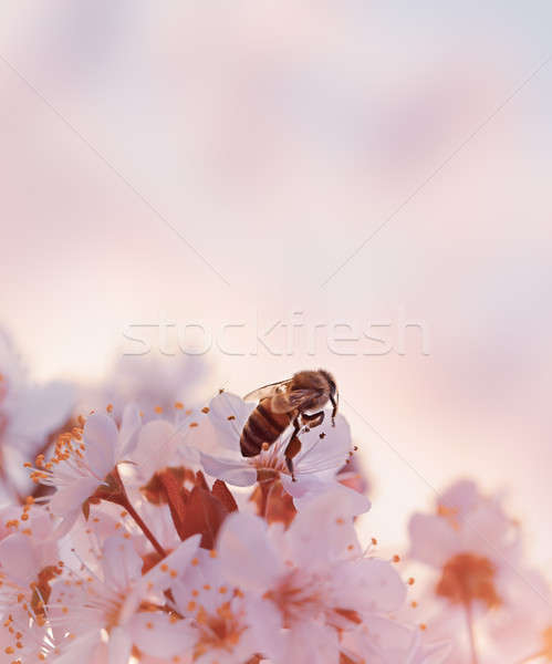 Little bee on the blooming cherry Stock photo © Anna_Om