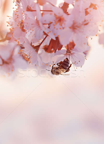 Little bee on the blooming cherry tree Stock photo © Anna_Om