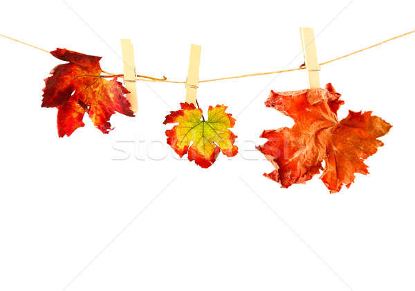 Autumn leaves Stock photo © Anna_Om