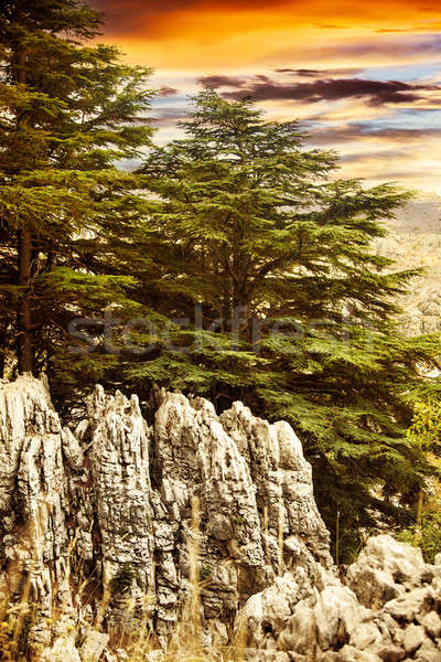 Cedar tree forest Stock photo © Anna_Om