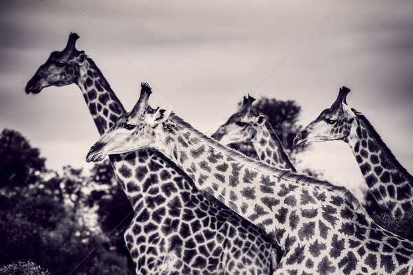 Beautiful wild giraffes Stock photo © Anna_Om
