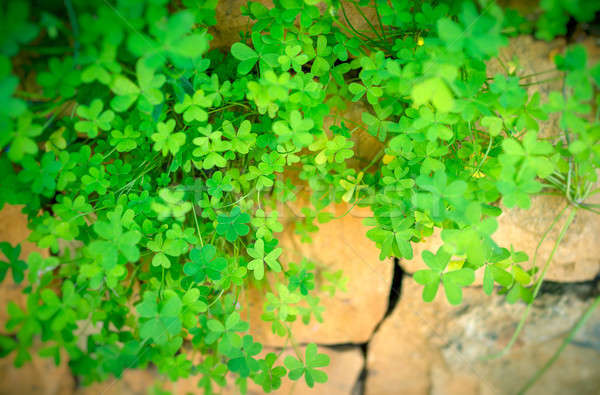 Clover on the stone wall Stock photo © Anna_Om