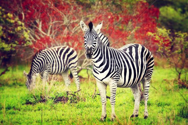 Wild zebras of African continent Stock photo © Anna_Om