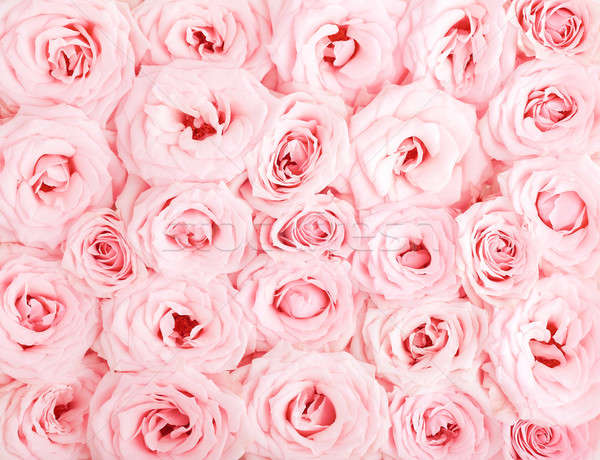 Pink roses background Stock photo © Anna_Om
