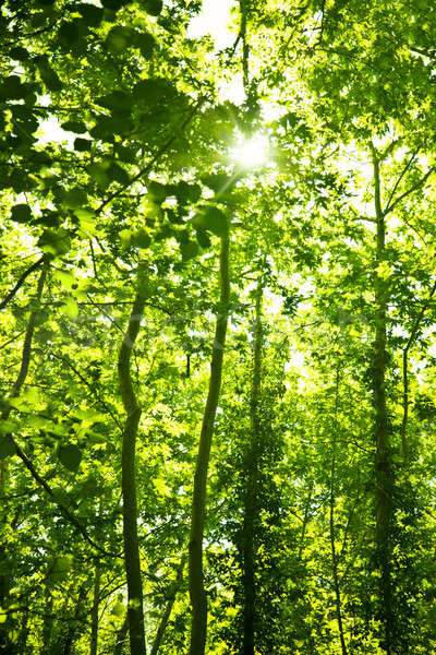 Green forest trees background Stock photo © Anna_Om