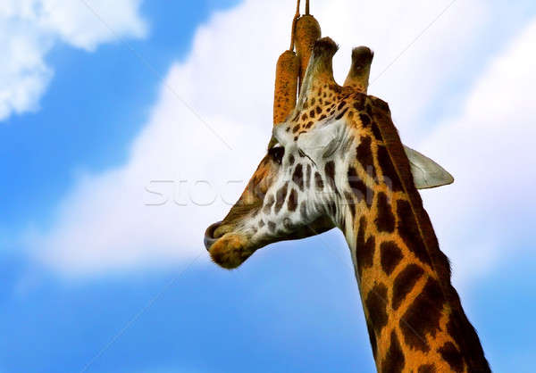Portrait of Giraffe Stock photo © Anna_Om