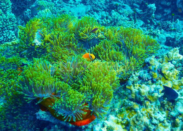 Korallzátony vízalatti bohóc hal úszik színes Stock fotó © Anna_Om