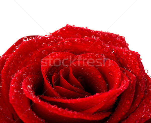 Red wet rose Stock photo © Anna_Om