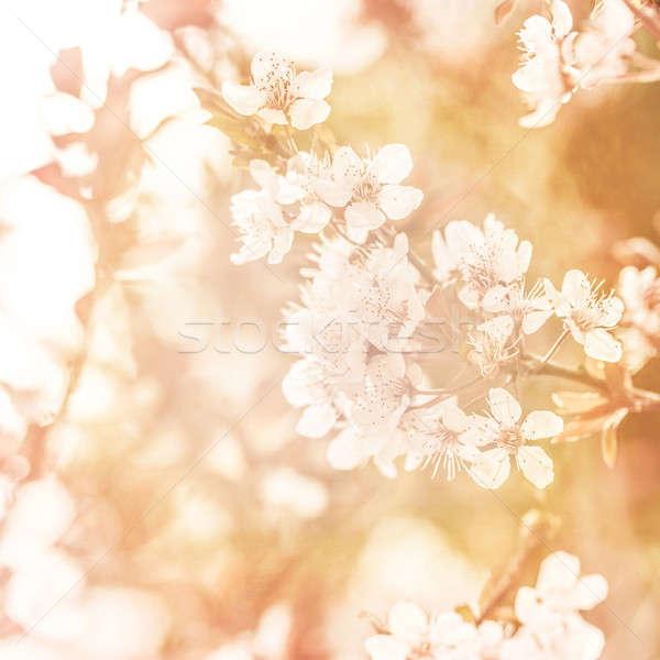 Apple tree blossom Stock photo © Anna_Om