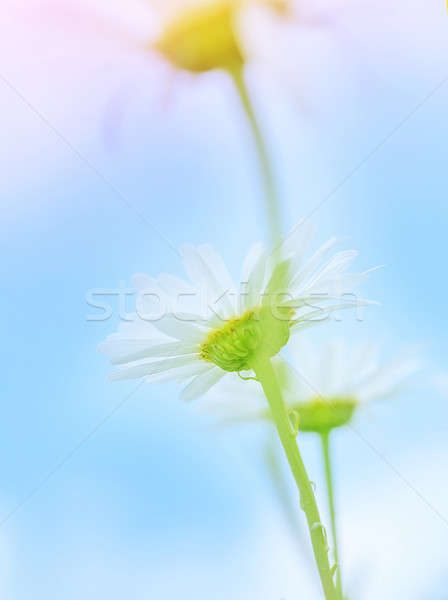 Gentle daisy flowers Stock photo © Anna_Om