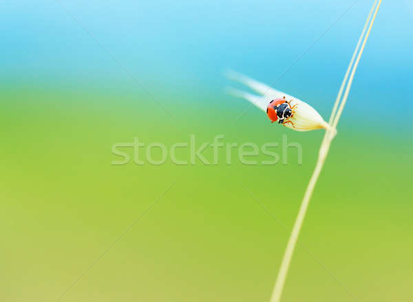 Cute ladybird on wheat spike Stock photo © Anna_Om