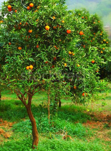 Mandarin tree Stock photo © Anna_Om