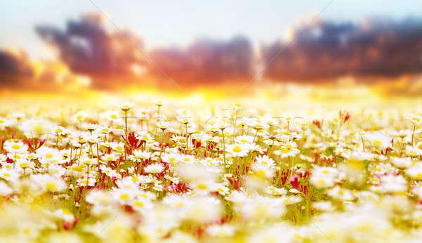 Stock fotó: Százszorszép · mező · naplemente · tavasz · fehér · friss