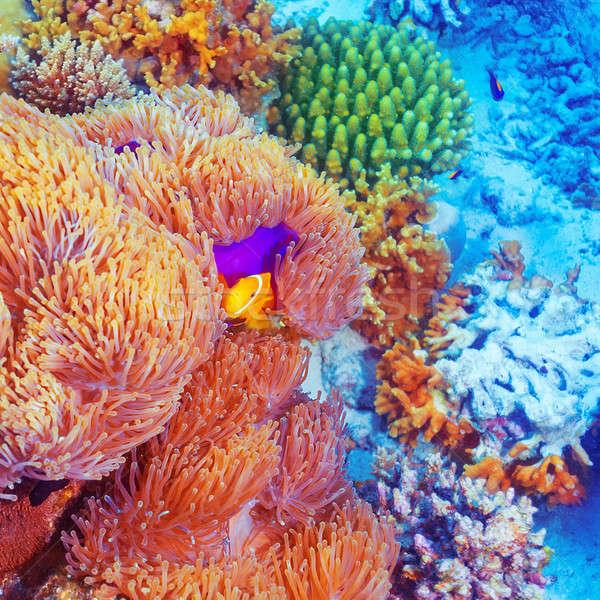 клоуна рыбы плаванию красочный аннотация природного Сток-фото © Anna_Om
