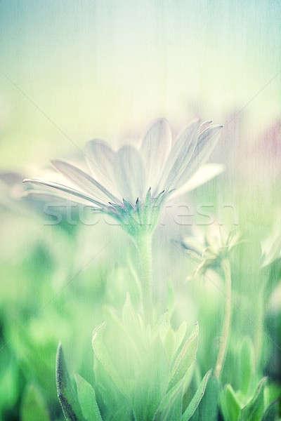 нежный Daisy области мягкой Focus Сток-фото © Anna_Om