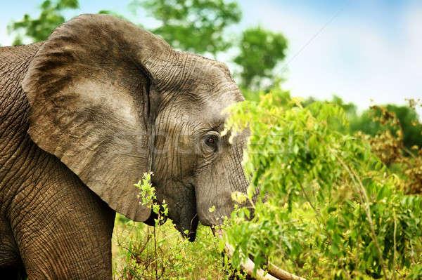 Wild elephant portrait Stock photo © Anna_Om