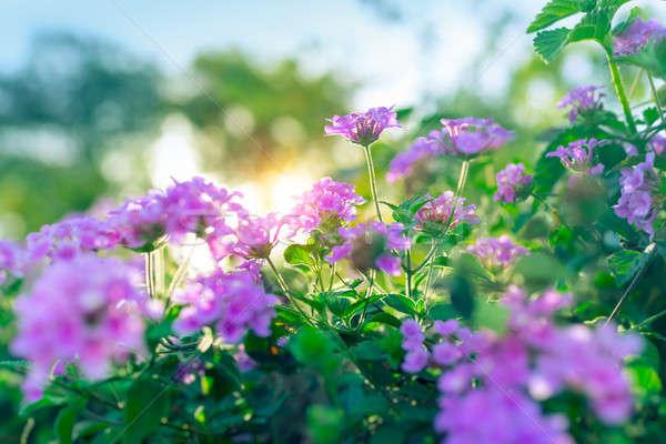 красивой Purple цветы цветочный Буш Сток-фото © Anna_Om