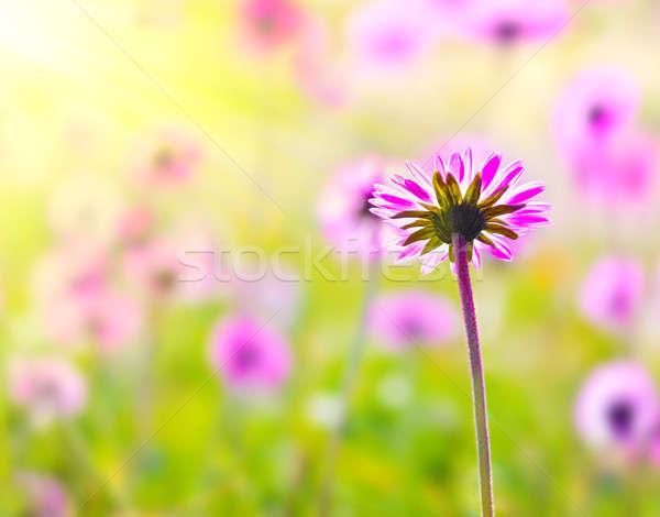 Flor-de-rosa campo rosa fresco foco Foto stock © Anna_Om