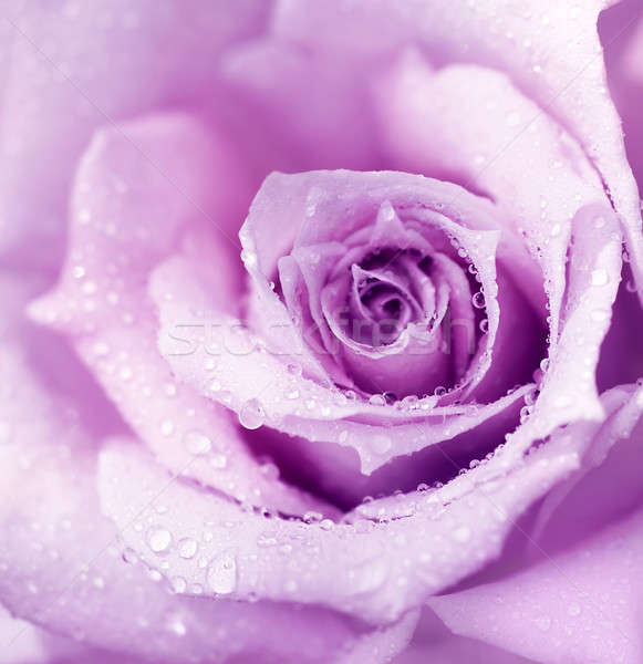 Purple wet rose background Stock photo © Anna_Om
