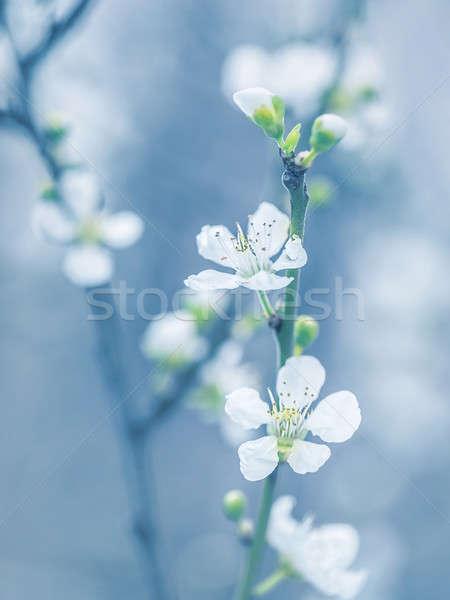 Virágzó fa tavasz friss fehér virágok ág Stock fotó © Anna_Om