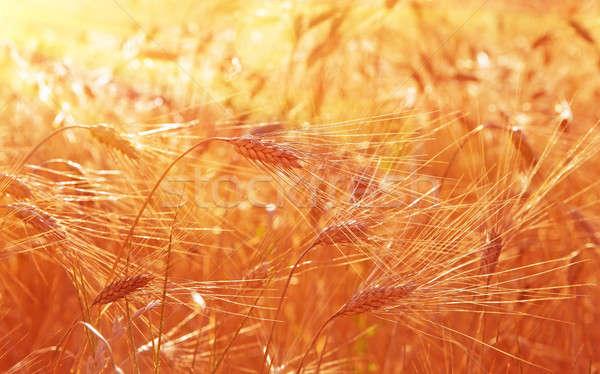 Campo de trigo soleado paisaje primer plano centeno atención selectiva Foto stock © Anna_Om