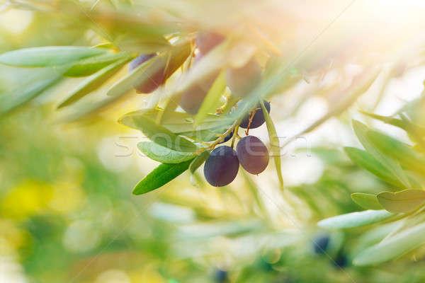 Olajfa érett kicsi fekete gyümölcsök fa Stock fotó © Anna_Om