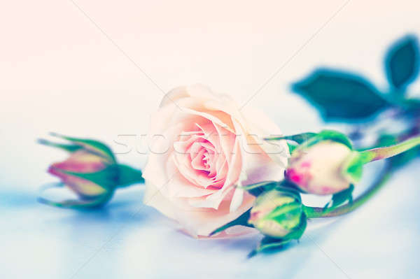 Soft pink roses Stock photo © Anna_Om