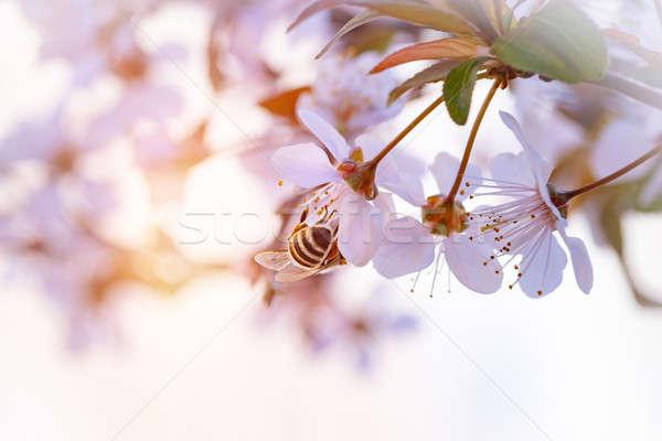 Abelha primavera cereja foto bonitinho Foto stock © Anna_Om