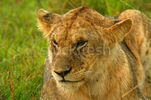 Lioness under rain in the wilderness Stock photo © Anna_Om