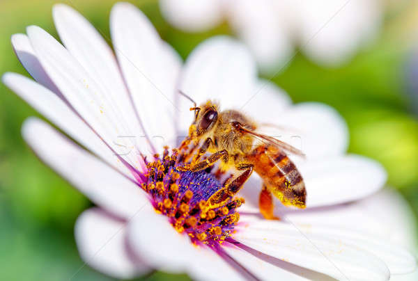 Stock photo: Beautiful bee on daisy