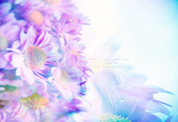 Beautiful gentle daisy flowers Stock photo © Anna_Om
