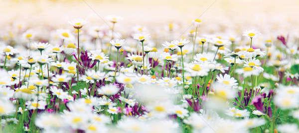 Daisy dziedzinie wiosną biały świeże stokrotki Zdjęcia stock © Anna_Om