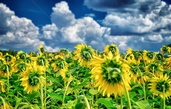 Friss napraforgó mező gyönyörű nagy sárga virágok Stock fotó © Anna_Om