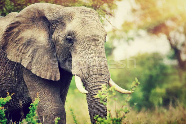 Wild elephant portrait Stock photo © Anna_Om