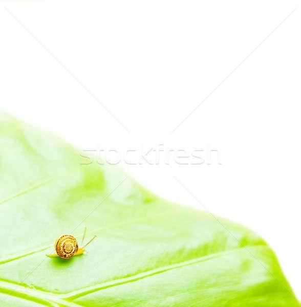 Küçük salyangoz yeşil yaprak yalıtılmış beyaz yaprak Stok fotoğraf © Anna_Om