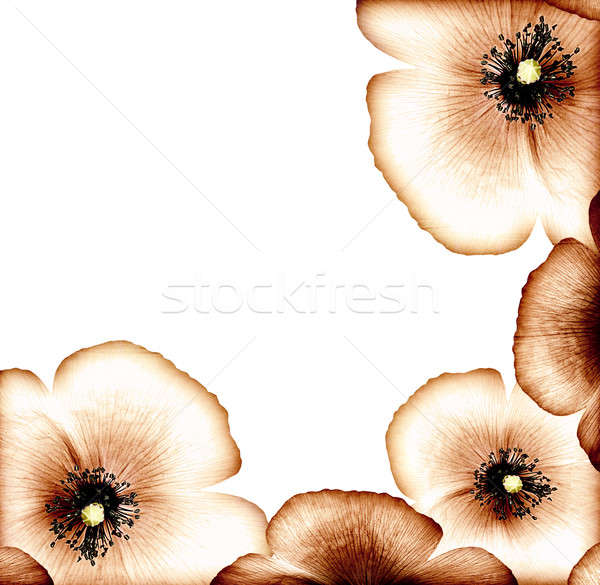 Grunge poppy border Stock photo © Anna_Om