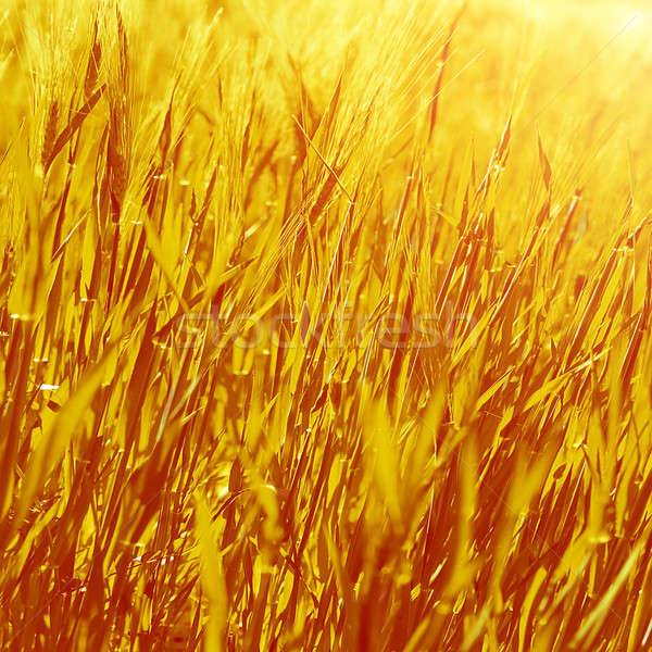 Abstract golden grass background Stock photo © Anna_Om