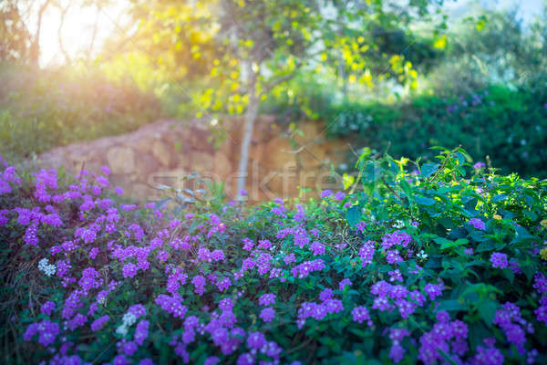 Beautiful blooming orchard Stock photo © Anna_Om