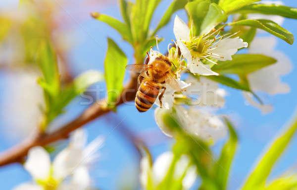 Stock fotó: Kicsi · méh · virágzó · fa · közelkép · fotó