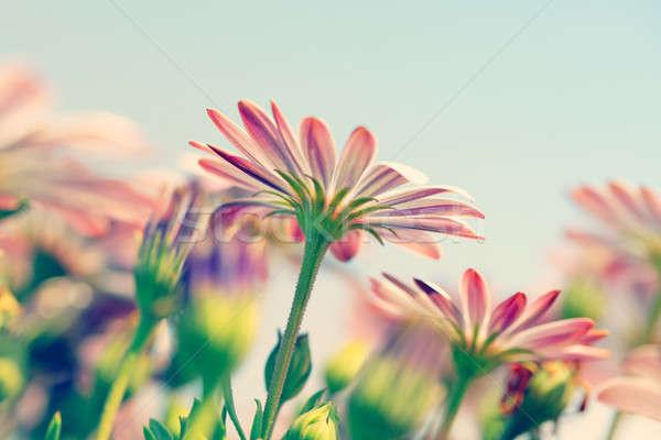 Daisy фото красивой нежный Сток-фото © Anna_Om