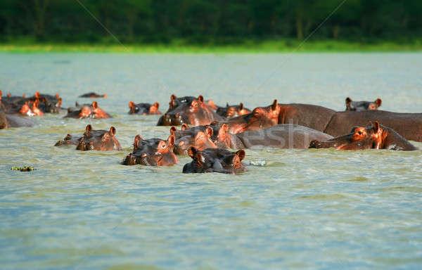 Hippos Stock photo © Anna_Om
