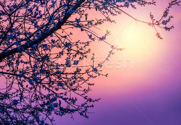 Cseresznyevirág lila naplemente kép gyengéd absztrakt Stock fotó © Anna_Om