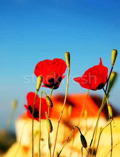 Amapola flores pradera rojo azul Foto stock © Anna_Om