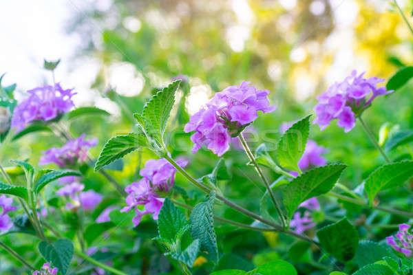 Beautiful purple flowers on the bush Stock photo © Anna_Om