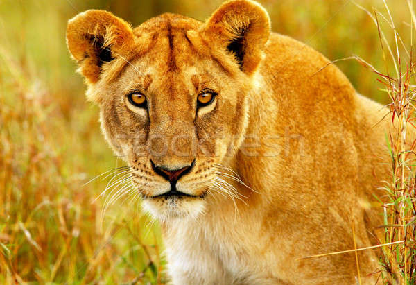 Beautiful wild african lioness Stock photo © Anna_Om