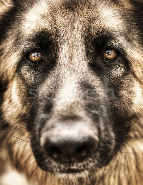 Closeup portrait of german shepherd  Stock photo © Anna_Om