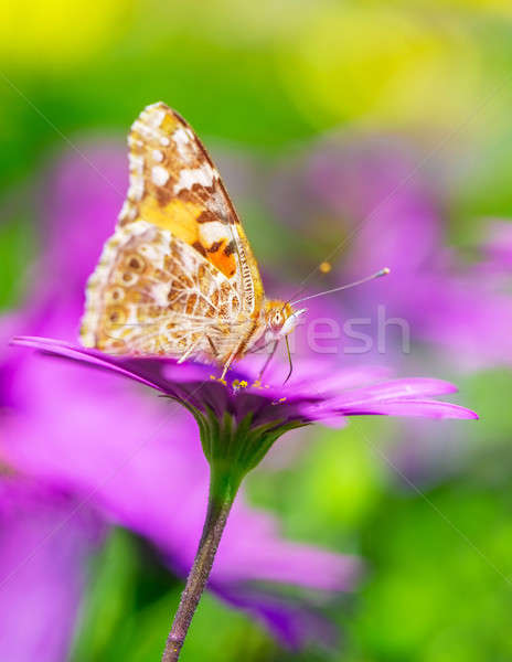 Gorgeous butterfly Stock photo © Anna_Om