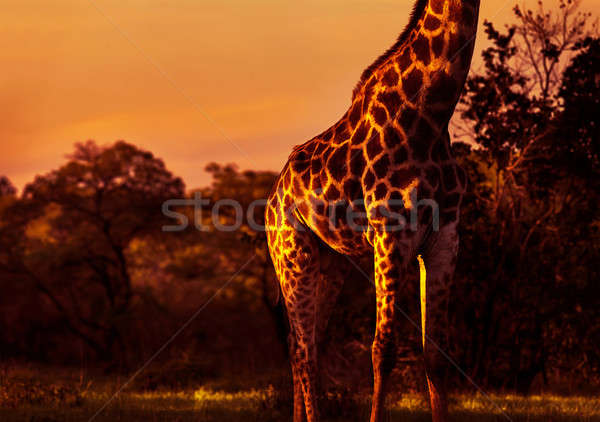 Beautiful tall giraffe Stock photo © Anna_Om