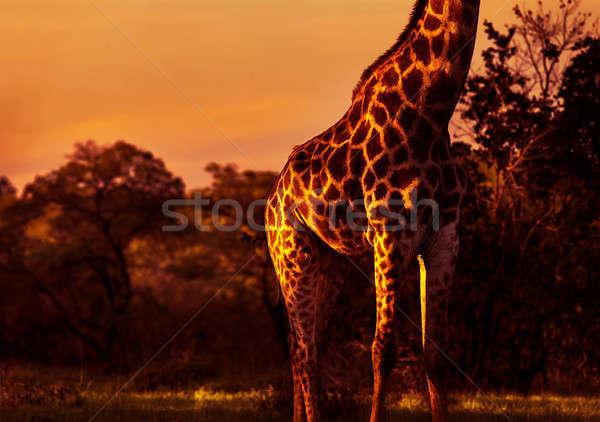 Gyönyörű magas zsiráf káprázatos fényes narancs Stock fotó © Anna_Om