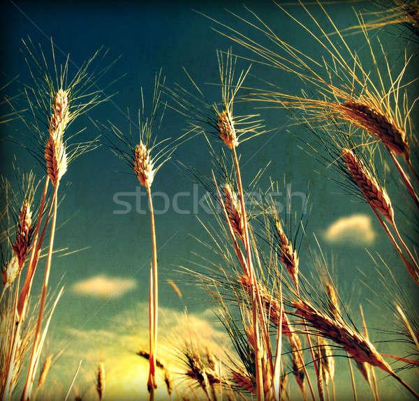 Grunge búzamező koszos öreg textúra égbolt Stock fotó © Anna_Om